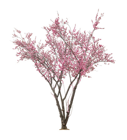 beautiful blooming pink tree isolated on white background