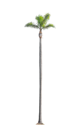 tall tree: Green beautiful tall palm tree isolated on white background