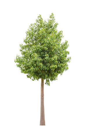ficus: Green beautiful and young  ficus tree isolated on white background Stock Photo