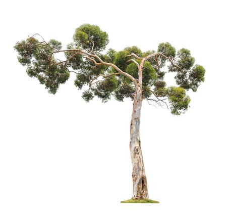 Groene mooie oude en grote eucalyptus boom met asymmetrische kroon op een witte achtergrond