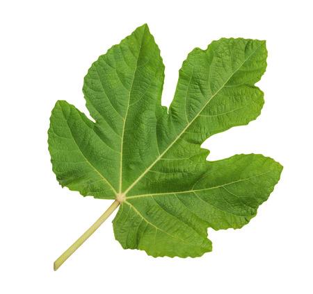 feuille de vigne: Vert grande feuille de figuier isolé sur fond blanc