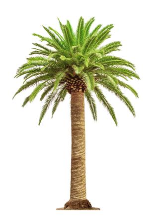 Zielony piękny drzewko palmowe odizolowywający na białym tle