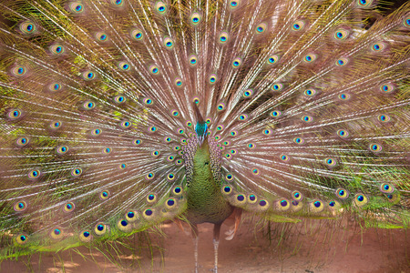 Peacock dissolved its tail in the zoo of Thailand