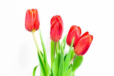 red tulips on a white background, a symbol of spring Foto de archivo