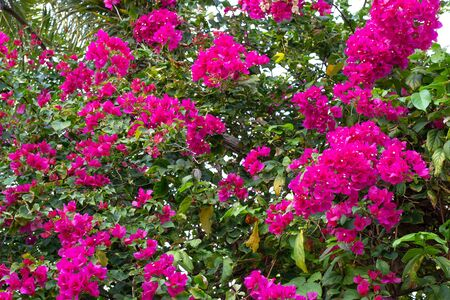 tropical bougainvillea flowers on branches in thailand gardens Reklamní fotografie