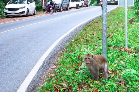 monkey male on the side of the road, animals go out of the jungle to people for food