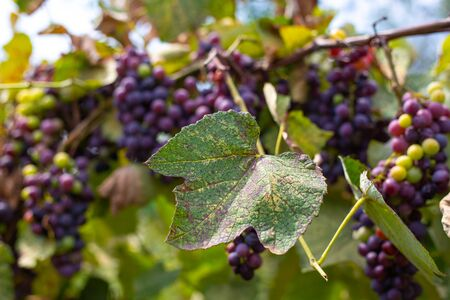 branches and dried leaves and fruits of the vineyard affected by garden pests
