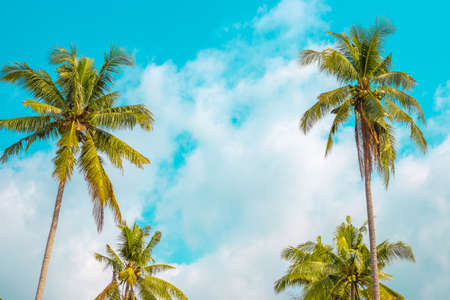 palm trees with coconuts on a background of the sky in a tropical forest, a bright sunny day in Asia