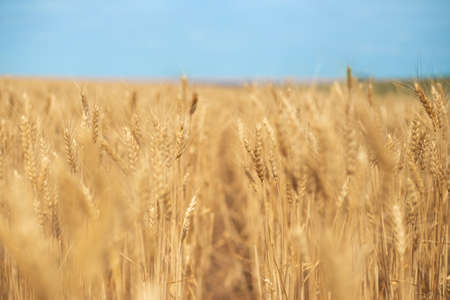 ripe wheat ready for harvesting, fields with grain, yellow ears of corn against the sky
