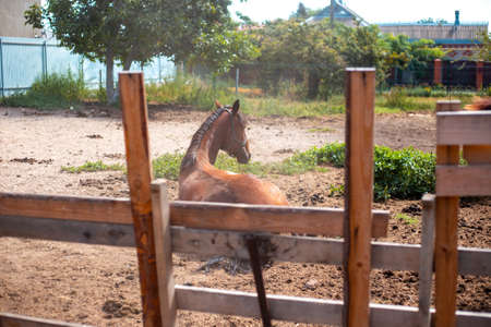 A brown horse lies on the ground behind a fence in a paddock. Farm animals, work and care Banco de Imagens