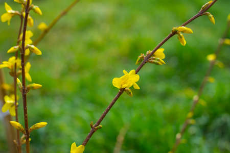 The plant blooms in spring. An ornamental forsythia bush has buds and inflorescences with bright yellow flowers against a background of green grass, close-up.