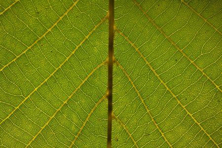 leaf texture Stock Photo - 5731621