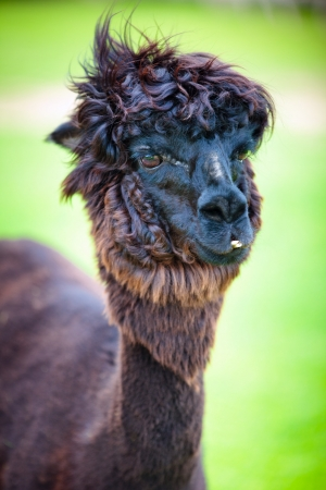 Close-up of a beautiful young alpaca photo