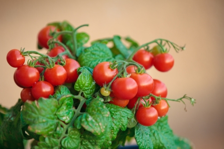 forcing bed: Homegrown cherry tomatoes in a pot