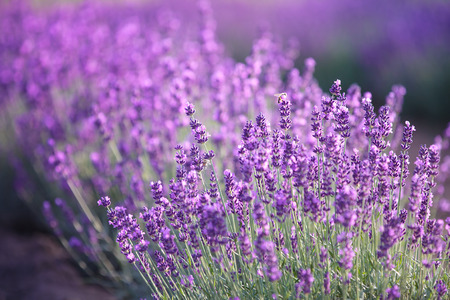 Lavender flowers in a field Stock Photo