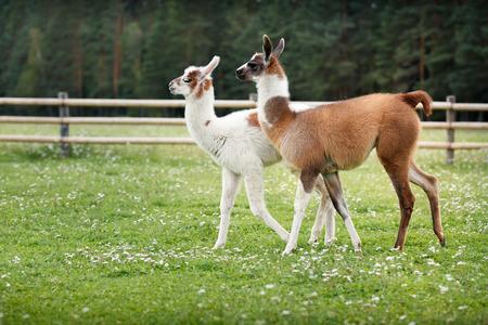 Two baby lamas on a farm yard Stock Photo