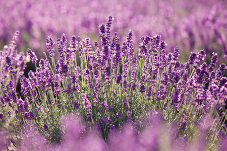 Purple lavender flowers in the field. Traditional medicine and cosmetic products Stock Photo