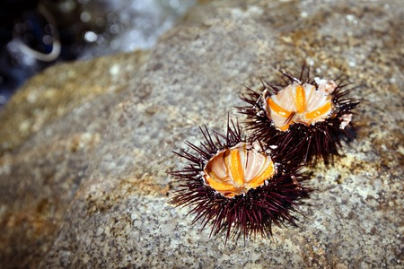 Sea urchins opened out on stone, Sardinia  island, Italy