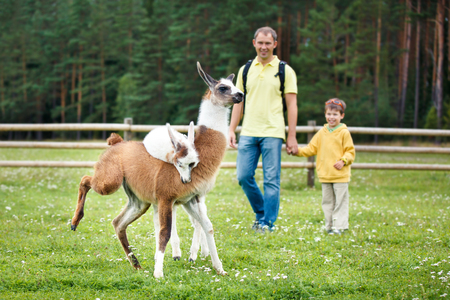 Father and son looking at two baby lamas playing together Stock Photo