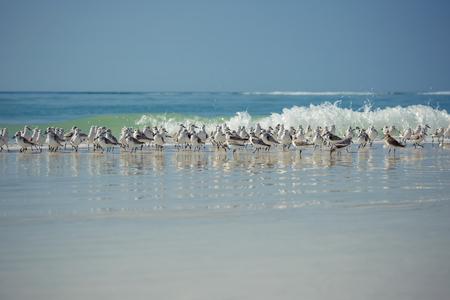 Sandpiper flock at a winter Florida seashore Stock Photo