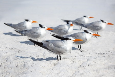 Royal terns sea birds stand on Siesta Key beach in Florida Stock Photo