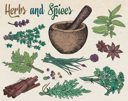 tarragon: Beautiful hand drawing healthy herbs and spices mortar. Herbs, basil, chervil.