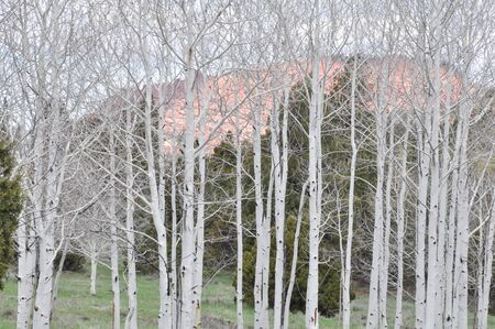 White Burch Trees in Dixie National Forest in Utah, United States of America