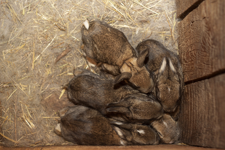 babies rabbits in a warm nest of wool pressed against each other for warmth