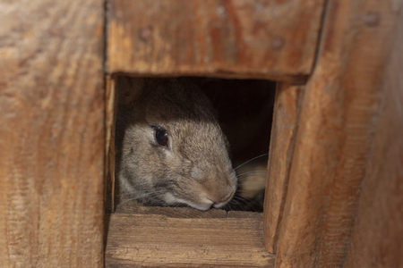 gray rabbit looks out of his wooden house take care of animals