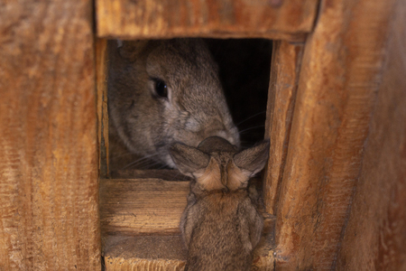 gray rabbit looks out of his wooden house baby rabbit came to his mom bunny
