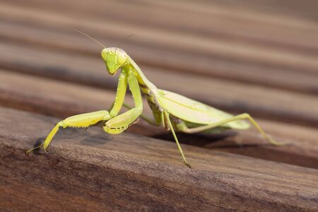 Praying mantis. Mantis sits on a wooden surface. looking into the camera lens. Stock Photo