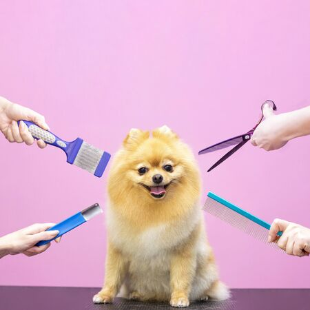 Professional cares for a dog in a specialized salon. Groomers holding tools at the hands. Pink background. groomer concept. Square photo
