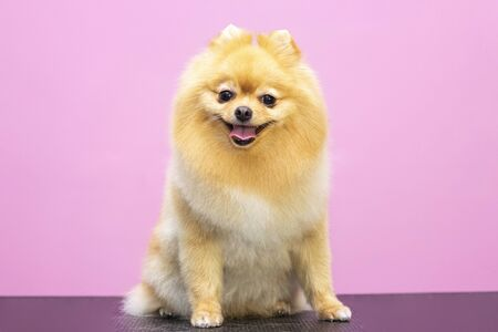 Beautiful dog breed Spitz. Salon for animals. A well-groomed dog sits on a table. Pink background. groomer concept