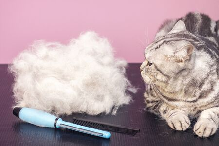contented cat in a beauty salon. Grooming cats in a pet beauty salon. cat express molt procedure. Combing out excess hair. The cat is next to its hair. A pile of wool. Zdjęcie Seryjne