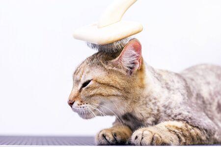 Toilettage du chat, peignage de la laine. Mue express. Beau chat dans un salon de beauté. Toilettage des animaux, peignage des cheveux. maître du toilettage des chats.