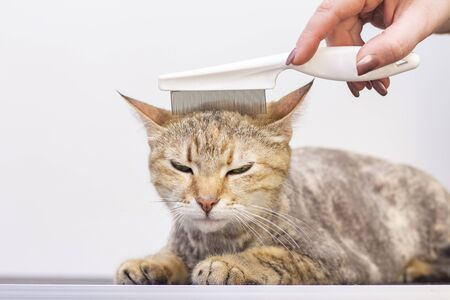 Contented cat in the pet salon. Grooming cats in a pet beauty salon. The master combes out excess hair from a trimmed cat.