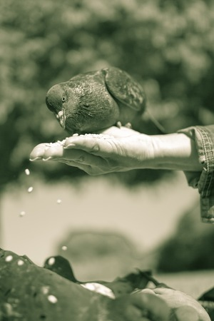 pecks: Pigeon sitting on a female hand and pecks grains