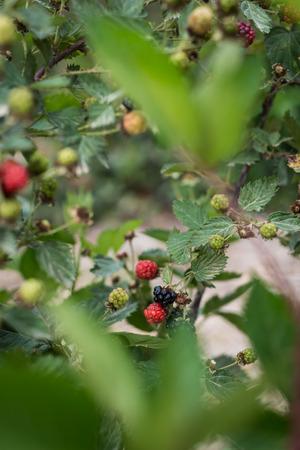 galilee: Raspberries picking at Bethlehem of Galilee, Israel Stock Photo