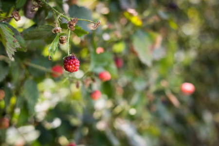 israel agriculture: Raspberry picking at Gedera, Israel Stock Photo