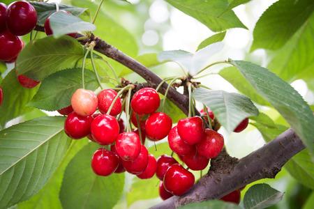cereza: Recogiendo la cereza en Odem en Altos del Gol�n