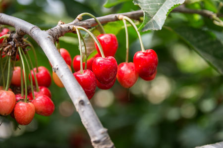 the golan heights: Picking Cherry at Odem on Golan Heights Stock Photo