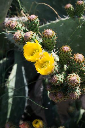 opuntia: Opuntia ficus-indica flower, Israel