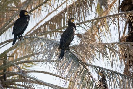 tel: Cormorants at Tel Afec reserve Stock Photo