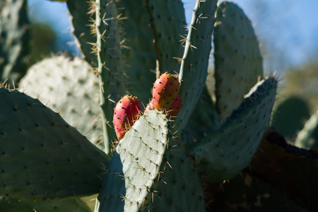 sabre's: Cactus pear growing on cactus Stock Photo
