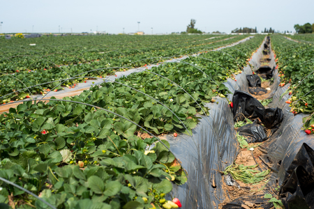 Strawberries grow on a farm in Israel Stock Photo - 55453968