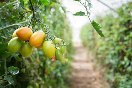 Cherry tomato growing on a plant Stock Photo
