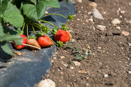 bethlehem: Strawberry picking at  Bethlehem of Galilee
