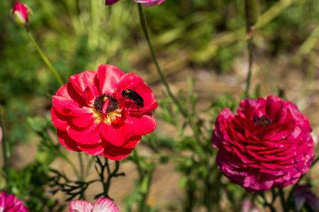 buttercup: Buttercup picking festival in Kedma