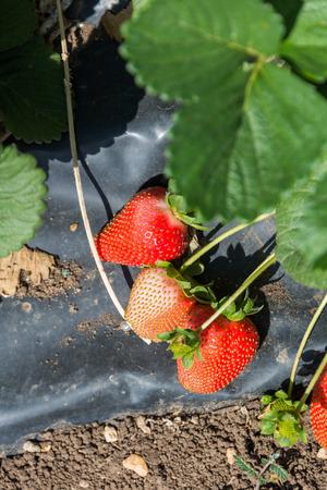 galilee: Strawberry picking at  Bethlehem of Galilee
