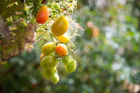 tomate cherry: Tomate cherry crecen en una planta
